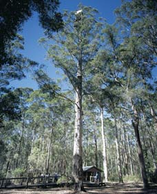 Diamond Tree Lookout Manjimup - Accommodation in Brisbane