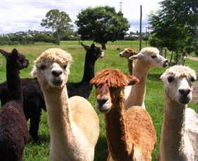 Banyandah Alpacas - Accommodation in Brisbane