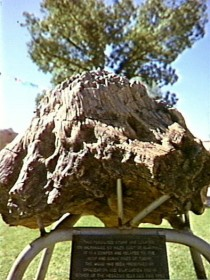 Fossilised Tree