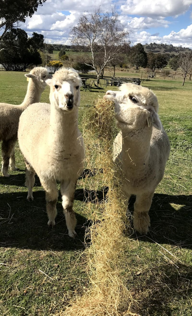 Clearview Alpacas - Accommodation in Brisbane